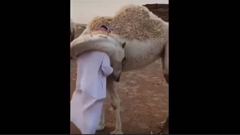 Photo of بالفيديو .. ناقة تعانق صاحبها كل يوم