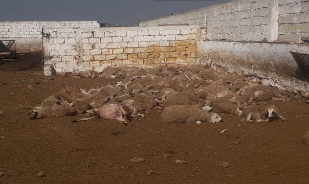 Photo of الكلاب المسعورة تهاجم ضيعة ضواحي البيضاء و تقتل 100 رأس من الغنم