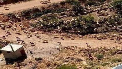 Photo of إجتياح لقطعان الرعاة الرحل لمنطقة سوس في عز أزمة وباء كورونا