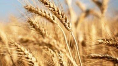 Photo of وزارة الفلاحة: إنتاج 1,3 مليون قنطار من القمح الطري منذ ماي الماضي