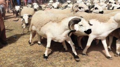 Photo of تاونات : افتتاح السوق الأسبوعي احد غفساي في وجه مربي الماشية