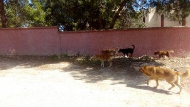 Photo of سطات.. الكلاب الشرسة والضالة هل من حل للمعضلة؟