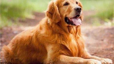 Photo of بالصدفة .. الأردن تسجل إصابة أول كلب بفيروس كورونا